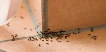 tenere lontane le formiche da casa. Colonna di formiche che cerca di entrare in casa