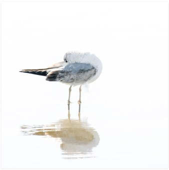 Seagull No 3 - Seagull art prints by Cattie Coyle Photography