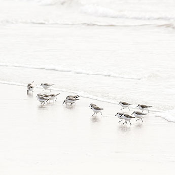 Sandpipers No 6 by Cattie Coyle Photography