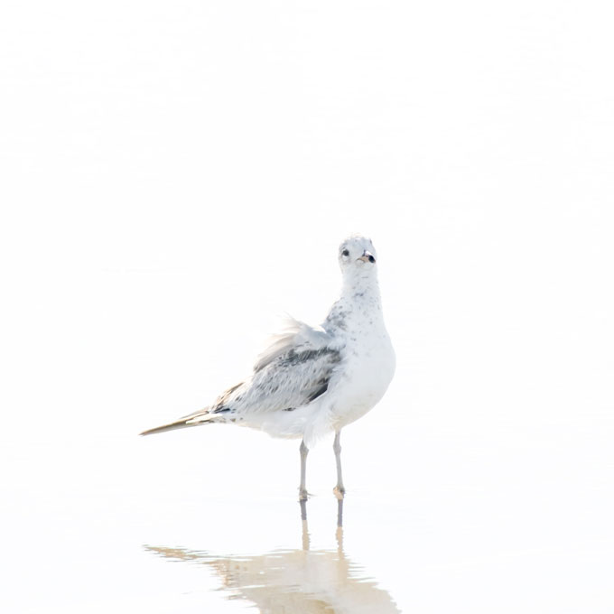 New seagull prints: Seagull No 10 - Bird fine art print by Cattie Coyle Photography