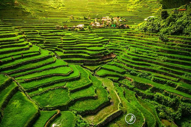 Rice Terraces of the Philippine Cordill
