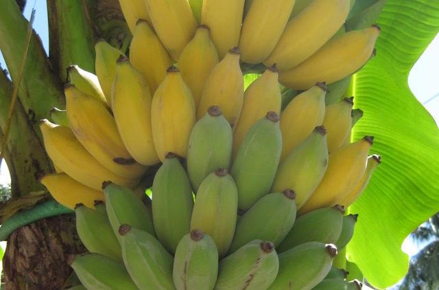 【フィリピンのバナナ12選】究極に美味しいバナナを紹介!
