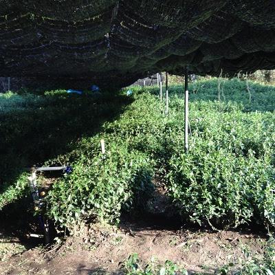 有志が育てている茶畑で茶摘み!!