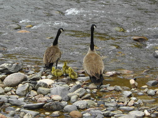 Canada geese and goslings on the Arkansas River, Fremont County, Colorado