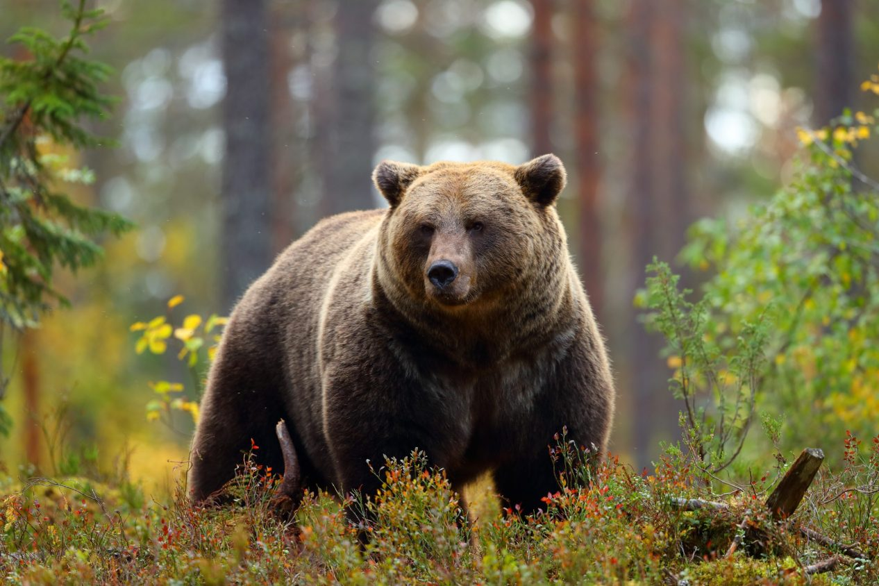 Front view portrait of a big brown bear in a forest