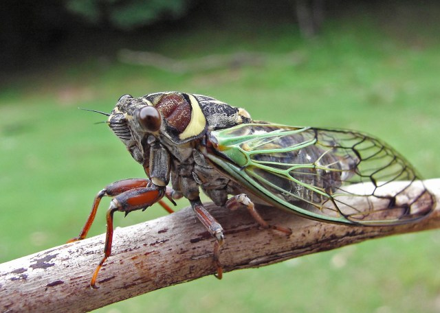 Close up of a cicadas (Cicadetta pellosoma) on branch. South of Russian Far East.