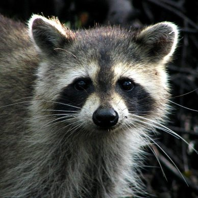 Picture shows a raccoon.
