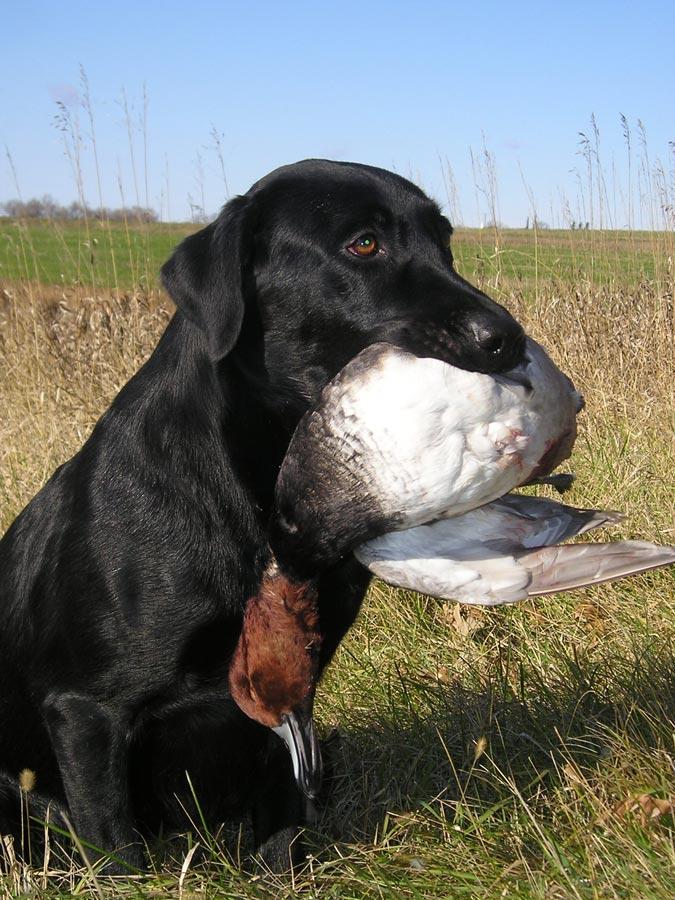Black Labrador Retriever and redhead duck