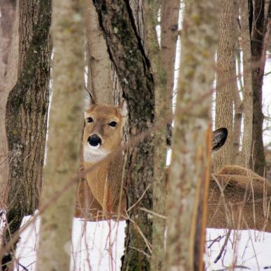 A deer peers out through a stand of bare trees with snow on the ground.