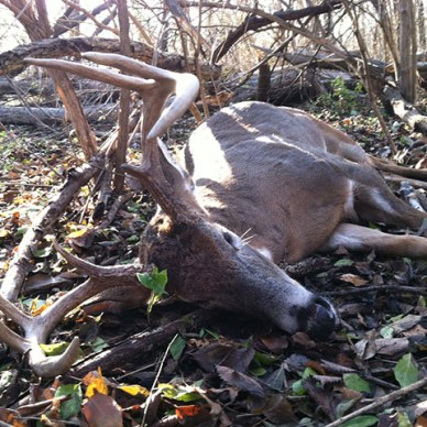 8 point whitetail buck dead on the forest floor