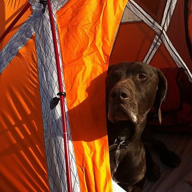 Picture shows a brown dog inside a tent, sticking its head out the door.