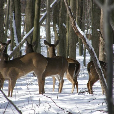 The number of whitetail deer now exceeds 36 million.