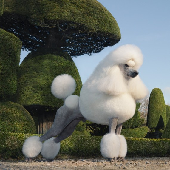 Topiary Poodle by Tim Flach