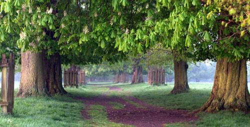 horse_chestnut_tree
