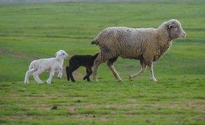 lambing time and dog walking