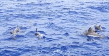 Fleckendelfine vor der Küste La Gomeras