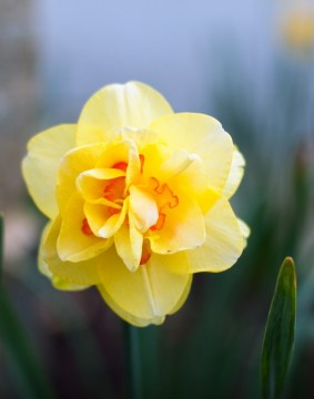 daffodil e1445610799643 600x764 - The story of the Daffodil flower, daffodils and maintenance benefits