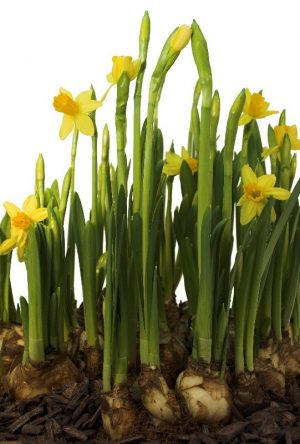 nergis so%C4%9Fan%C4%B1 1 300x444 - The story of the Daffodil flower, daffodils and maintenance benefits