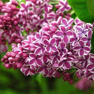 leylaklar 300x300 - Lilac flower