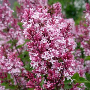 pembe leylak 300x300 - Lilac flower
