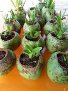 Horta em coco verde