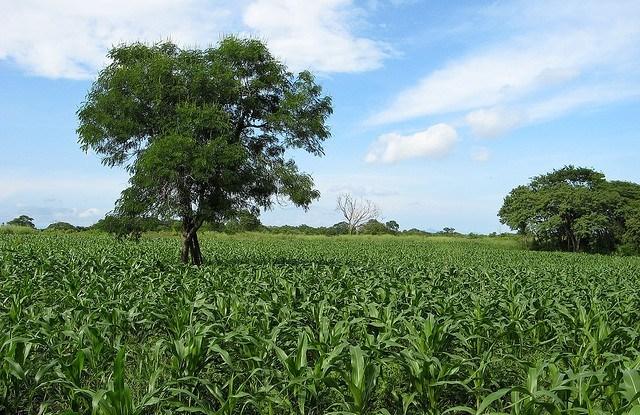 Ladang jagung di Meksiko. Foto oleh Ben Garland/flickr