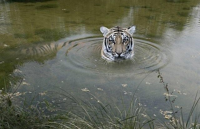 A bengal tiger at Chitwan National Park, Nepal. Baghmara Wildlife Resort.