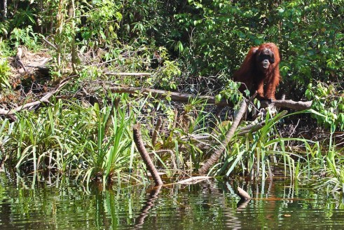 Pedro - a solitary orangutan is wating for meals on the edge of Sekonyer river in Central Kalimantan, Indonesia. Daniel Murdiyarso/CIFOR
