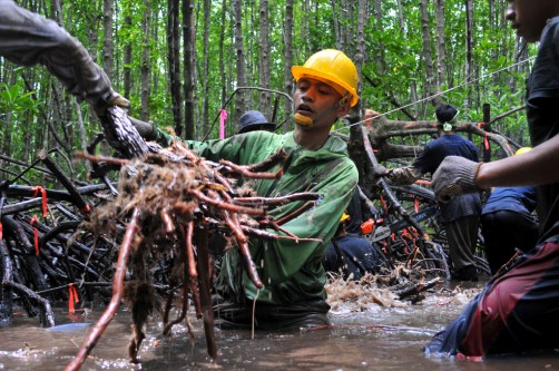 It's possible that selective and sustainable logging of mangroves can be done while retaining much of their carbon – and save them from worse fates. Kate Evans/CIFOR