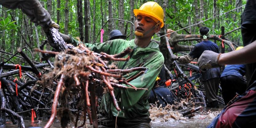 Sangatlah mungkin penebangan kayu dari hutan mangrove yang selektif dan lestari dilakukan seraya mempertahankan kandungan karbonnya – juga menyelamatkan mangrove dari nasib yang lebih buruk. Kate Evans/CIFOR