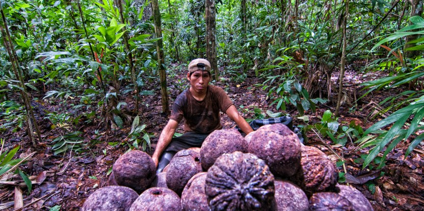 CIFOR scientists are working alongside Brazil nut harvesters to measure the production of Brazil nut trees and determine the impact of selective logging. Marco Simola/CIFOR