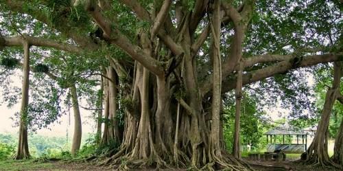 Para ilmuwan meneliti data lebih dari 190.000 pohon, berdiameter sekurangnya 10 sentimeter di 120 lokasi dataran rendah hutan tua berlembab di Amerika Selatan, Afrika dan Asia. Foto: CIFOR/Terry Sunderland