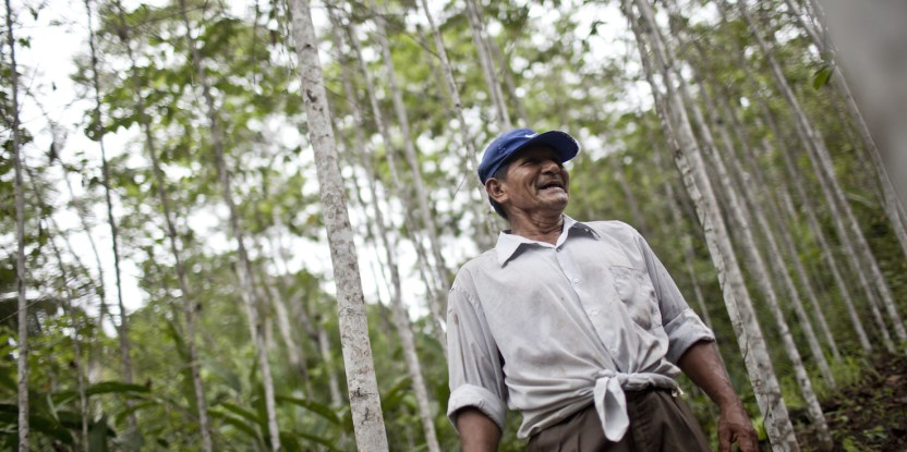 Timber from agricultural fallows slips between the cracks in Peru's forestry regulations.