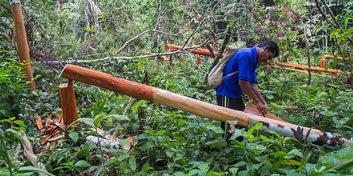 Hadari sedang memanen kayu manis di hutan dekat desa Lubuk Beringin, Jambi. Hutan sudah menjadi bagian penting desa ini, masyarakat sudah lama menerapkan nilai tradisional praktik tata kelola hutan. Photo @CIFOR