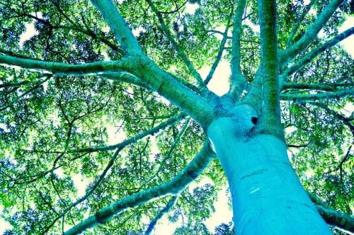 Un árbol de ceiba (Ceiba pentandra) en Mato Grosso, Brasil. Fotografía: Icaro Cooke Vieira / CIFOR.