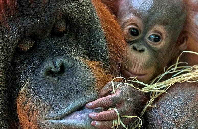 Going ape: Finding orangutan refuges in Borneo