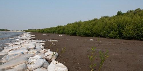 Karung pasir ditempatkan di sepanjang pantai untuk menahan abrasi dan memberikan ruang bagi bakau tumbuh di tanah sedimentasi. Foto @CIFOR