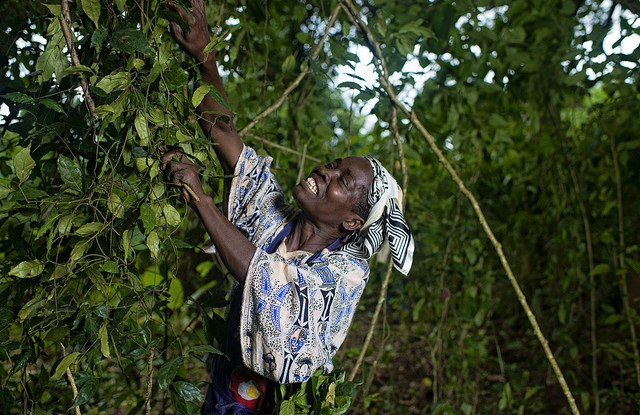 Trees contribute to the food security and income of millions of smallholders like this woman harvesting gnetum in Cameroon.   Ollivier Girard CIFOR