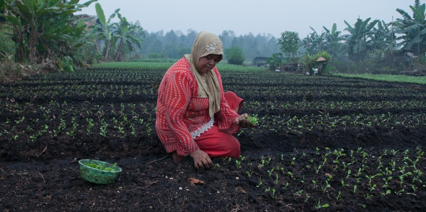 Farmers in Palangka Raya, Central Kalimantan say smoke from the fires disrupts their harvests. Aulia Erlangga/ CIFOR