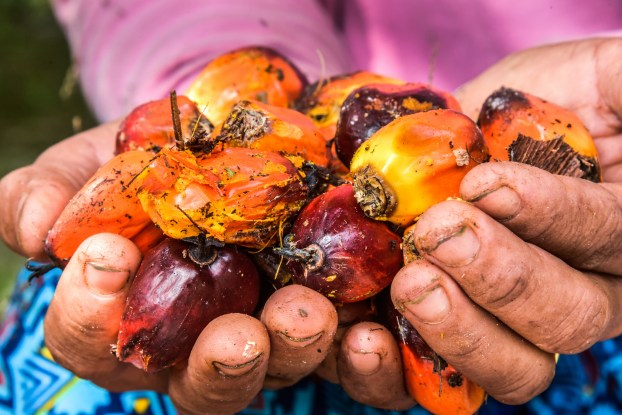 Gender and oil palm