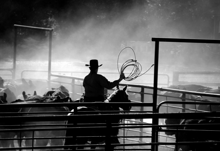 Cowboy, cattle black and white