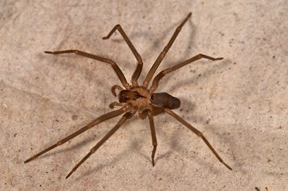 Brown Recluse Spider Bites