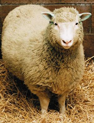 Dolly the sheep, whose creator has now abandoned cloning.