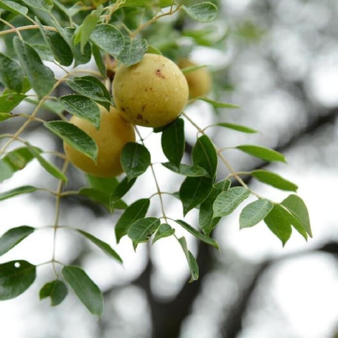 cliomakeup-olio-di-marula-pianta