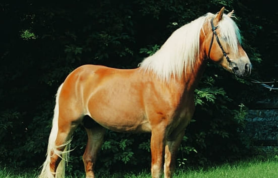 Haflinger Horse and South Tyrol