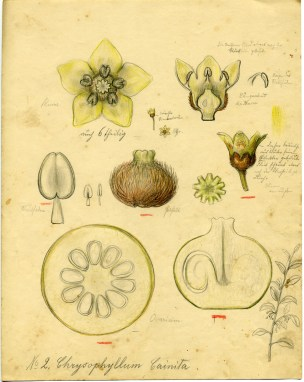 Chrysophyllum cainia by Rudolf Blaschka (1857-1939), 1892-1895. Pencil and colored pencil on paper; 30 x 21 cm. Bib ID 130331.