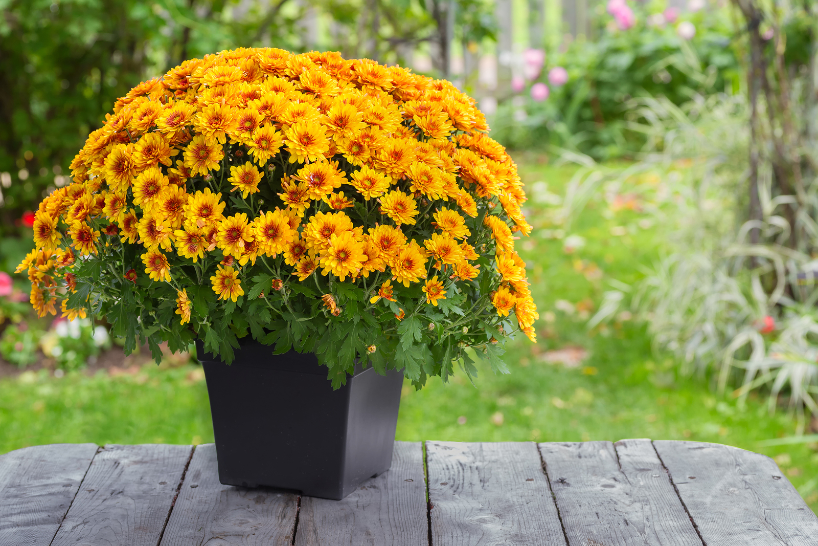 Fall Yard Care Tips: Beautify with New Trees, Shrubs, and Annuals