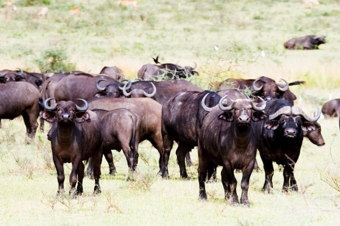 Buffaloes in Murchison Falls National Park