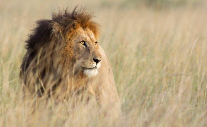 Lion in high grass in Kenya