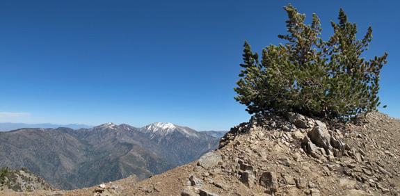 Limber pine (Pinus flexis)